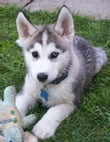 Siberian Husky Training for Beginners