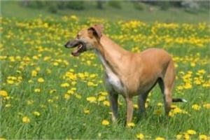 Greyhound Training for Beginners