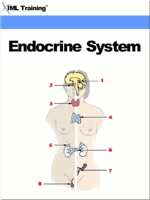 Endocrine System (Human Body) Includes Anatomy,  Physiology,  Diseases,  Disorders,  and Diabetes Mellitus