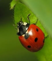 A Crash Course on How to Get Rid of Lady Bugs ebook by Steve Reeves