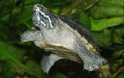 Captive Care of North American Water Turtles ebook by Richard Lunsford