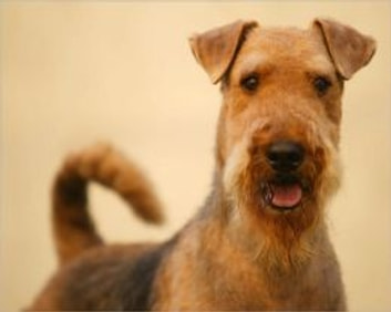 Airedale Terriers for Beginners ebook by Michelle Ashley