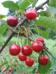 How to Grow Cherry Trees ebook by Lonnie Hawkins