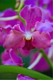 How to Grow Orchids ebook by Bo Hess
