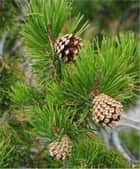 How to Grow a Pine Tree ebook by Cubby Barnes