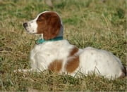 Red and White Setters for Beginners ebook by Larry Higgins