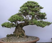 Growing Bonsai ebook by Sven Hyltén-Cavallius