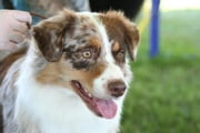 A Beginners Guide to Australian Shepherds ebook by Stan Krendal