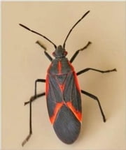 A Crash Course on How to Get Rid of Box Elder Bugs ebook by Enzo Jones