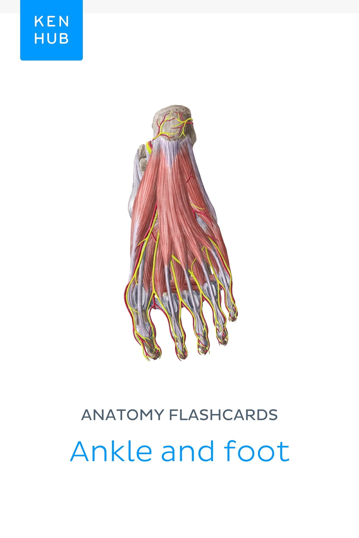 Anatomy Flashcards Ankle And Foot Ebook By Kenhub 9783962980627