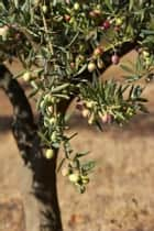 How to Grow an Olive Tree ebook by Dave Houston