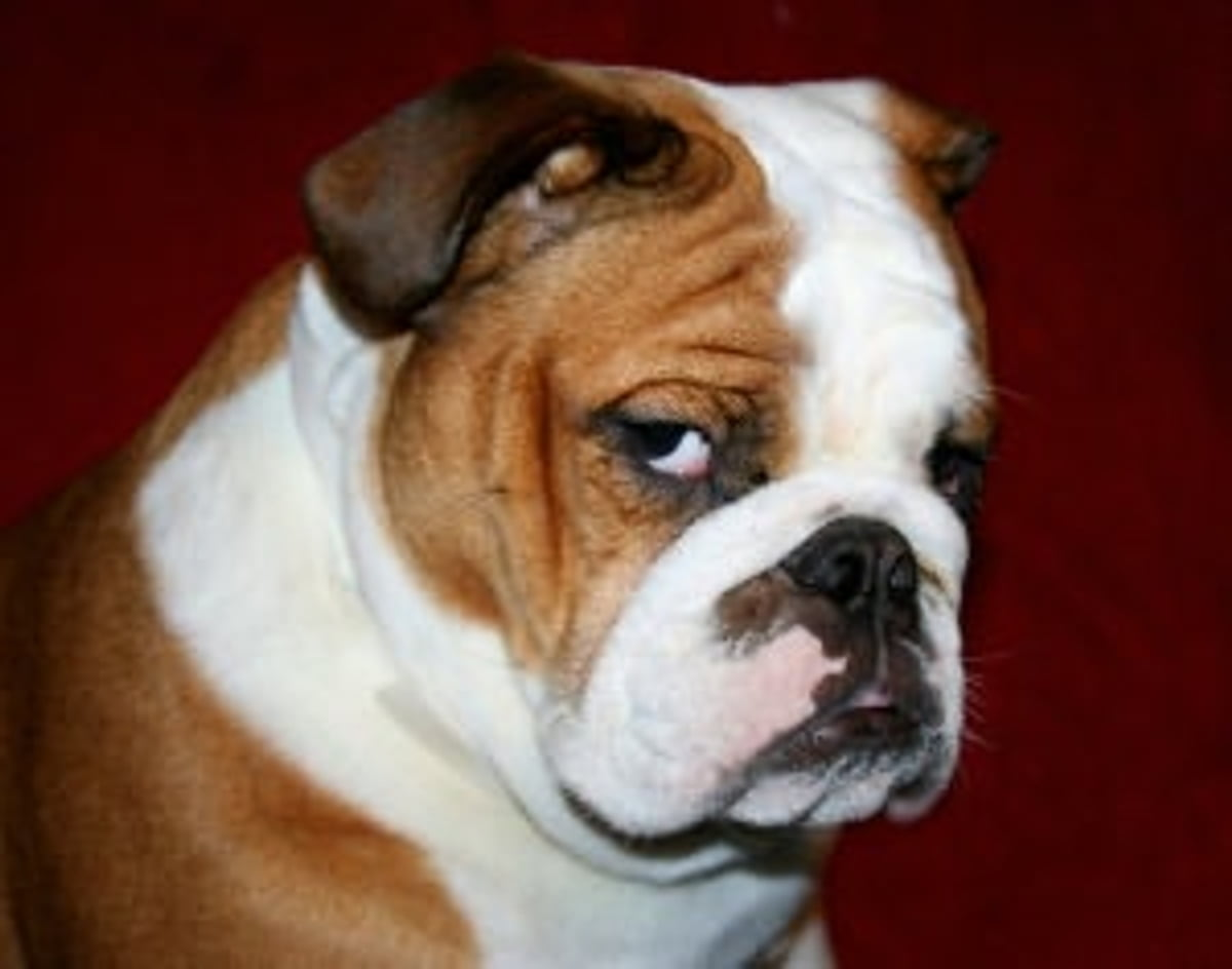 English Bulldogs For Beginners Ebook By