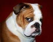 English Bulldogs for Beginners ebook by Geraldine Pettiford