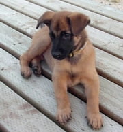 Belgian Malinois for Beginners ebook by Ryder Travolta
