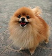 Pomeranian Training for Beginners ebook by Clint Hooser