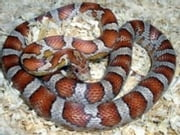 Corn Snake Care for Beginners ebook by Terrence Green