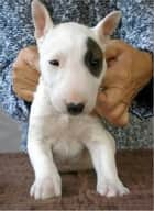 Miniature Bull Terriers for Beginners ebook by Ken Venom