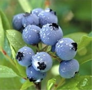 A Crash Course on How to Grow Blueberries ebook by Liz Cooper