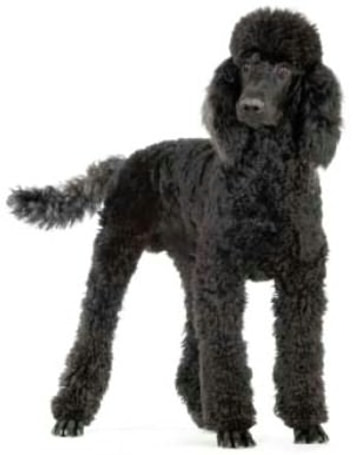 Standard Poodles for Beginners ebook by Ryder Travolta