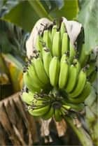 How to Grow Bananas ebook by Lonnie Hawkins