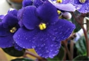 Growing African Violets For Beginners ebook by Royce Niffenegger