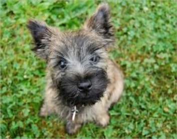 Cairn Terriers for Beginners ebook by Samantha Wilson