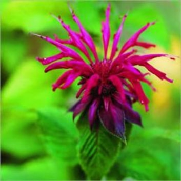A Crash Course on How to Grow Bee Balm ebook by Linda Cooper