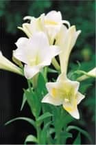 Growing Calla Lilies For Beginners ebook by Royce Niffenegger