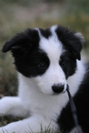 Border Collie Training for Beginners ebook by Linda Pfeiffer
