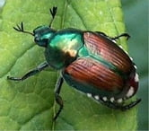 A Crash Course on How to Get Rid of Japanese Beetles ebook by Steve Reeves