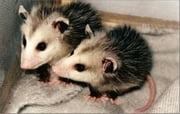 A Quick and Easy Guide on How to Get Rid of Opossums ebook by Darrell Edwards