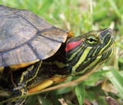 How to Care for a Slider Turtle ebook by Harper Burns