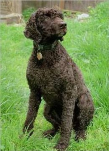 Irish Water Spaniels for Beginners eBook by Mildred ...