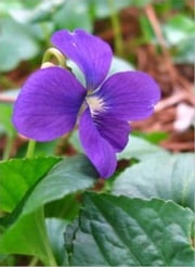 How to Grow Violets ebook by Victor Marlish