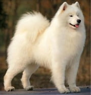 Samoyeds for Beginners ebook by Nicolas Balthazar