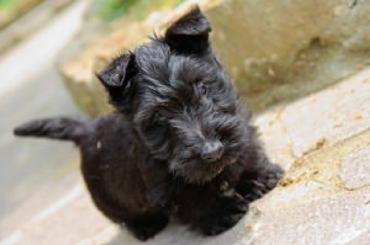 Scottish Terriers For Beginners Ebook