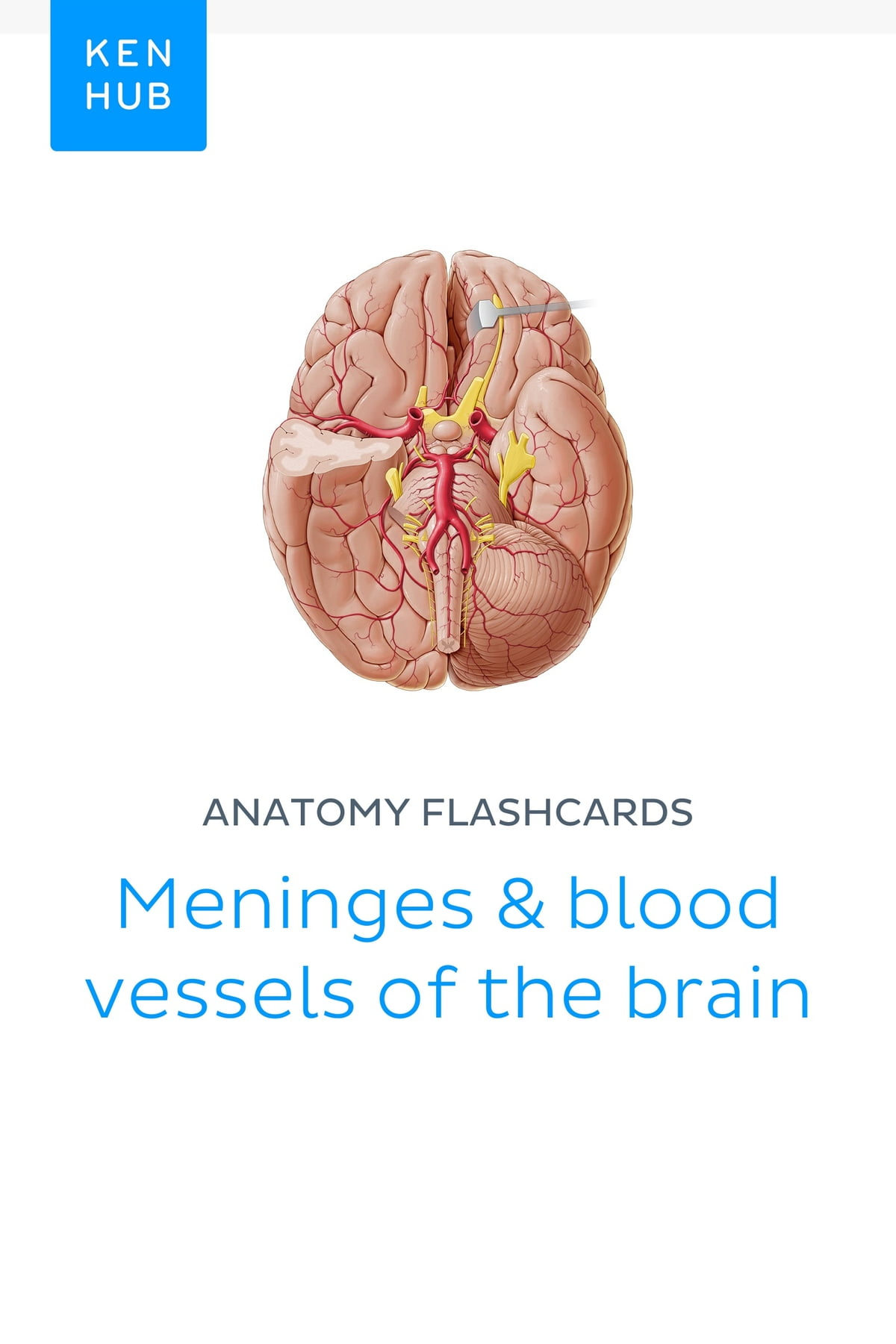 Anatomy flashcards: Meninges & blood vessels of the brain eBook by ...