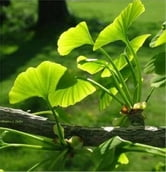 The Essential Guide to Ginkgo Biloba ebook by Doug Lamb