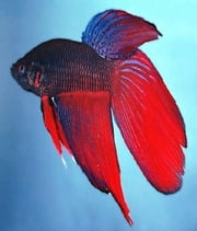 A Beginners Guide to Caring For Betta Fish ebook by Donna Jaynes