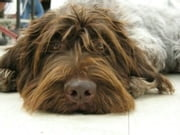 Wirehaired Pointing Griffons for Beginners ebook by Kenny Swardson
