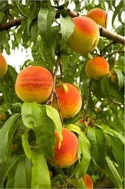 How to Prune a Peach Tree ebook by Guy LaForge