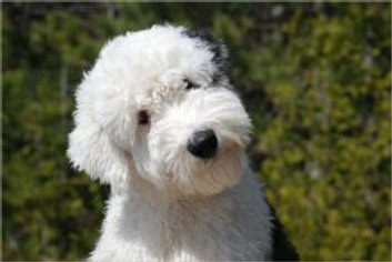 Old English Sheepdogs for Beginners ebook by Debra Kettner