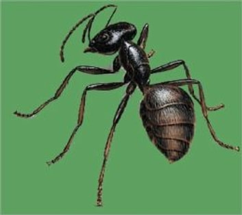 A Crash Course on How to Get Rid of Carpenter Ants ebook by Juan Trippe