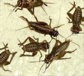 A Crash Course on How to Get Rid of Crickets ebook by Ed Padilla