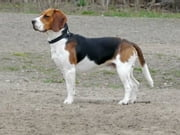 How to Train a Beagle ebook by Shea Corliss