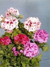 How to Grow Geraniums ebook by Bo Hess