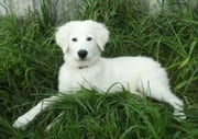 Maremma Sheepdogs for Beginners ebook by Julia Lawston