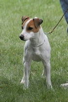 A Beginners Guide to Jack Russell Terriers by Tom Paunovic