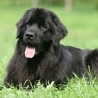 Newfoundlands for Beginners by Marvin Starkey