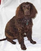 American Water Spaniels for Beginners by Illiana Maloon